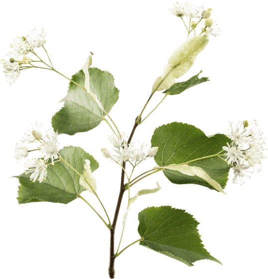 Flores de tilo