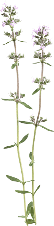Thymus serpyllumolens