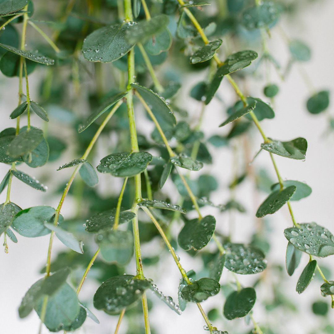 Ricola Eucalyptus Shower How-To - Step  5