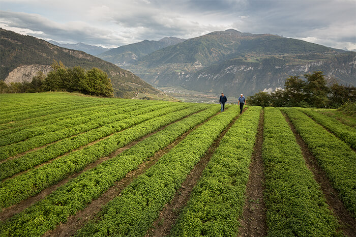 Kräuterbauern im Dienst von Ricola